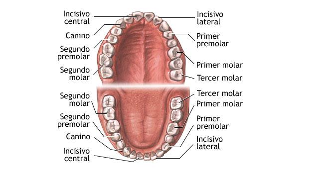 Anatomía Dental - Toda la información que necesitas.