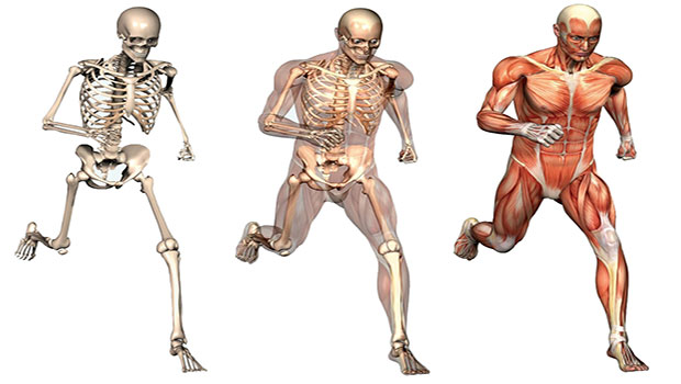 QUE ES LA RECREACION Y SUS BENEFICIOS : Anatomía Humana