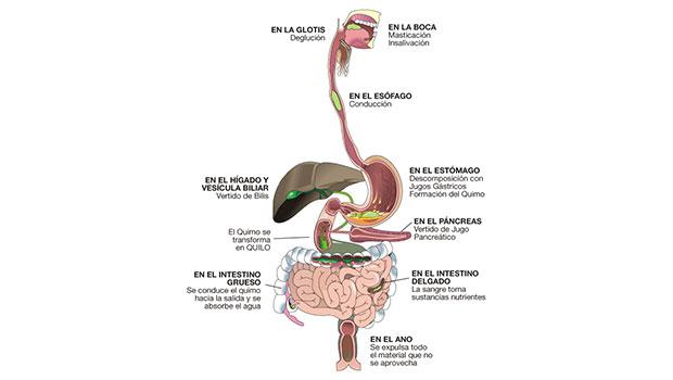Aparato Digestivo - Descripción y funcionamiento.