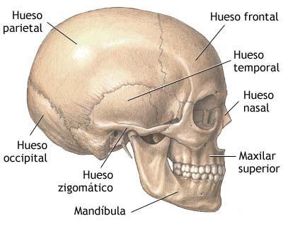 Huesos del cuerpo humano  Funciones grupos e imgenes