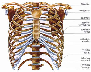 huesos-torax