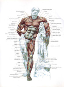 musculos-frontales