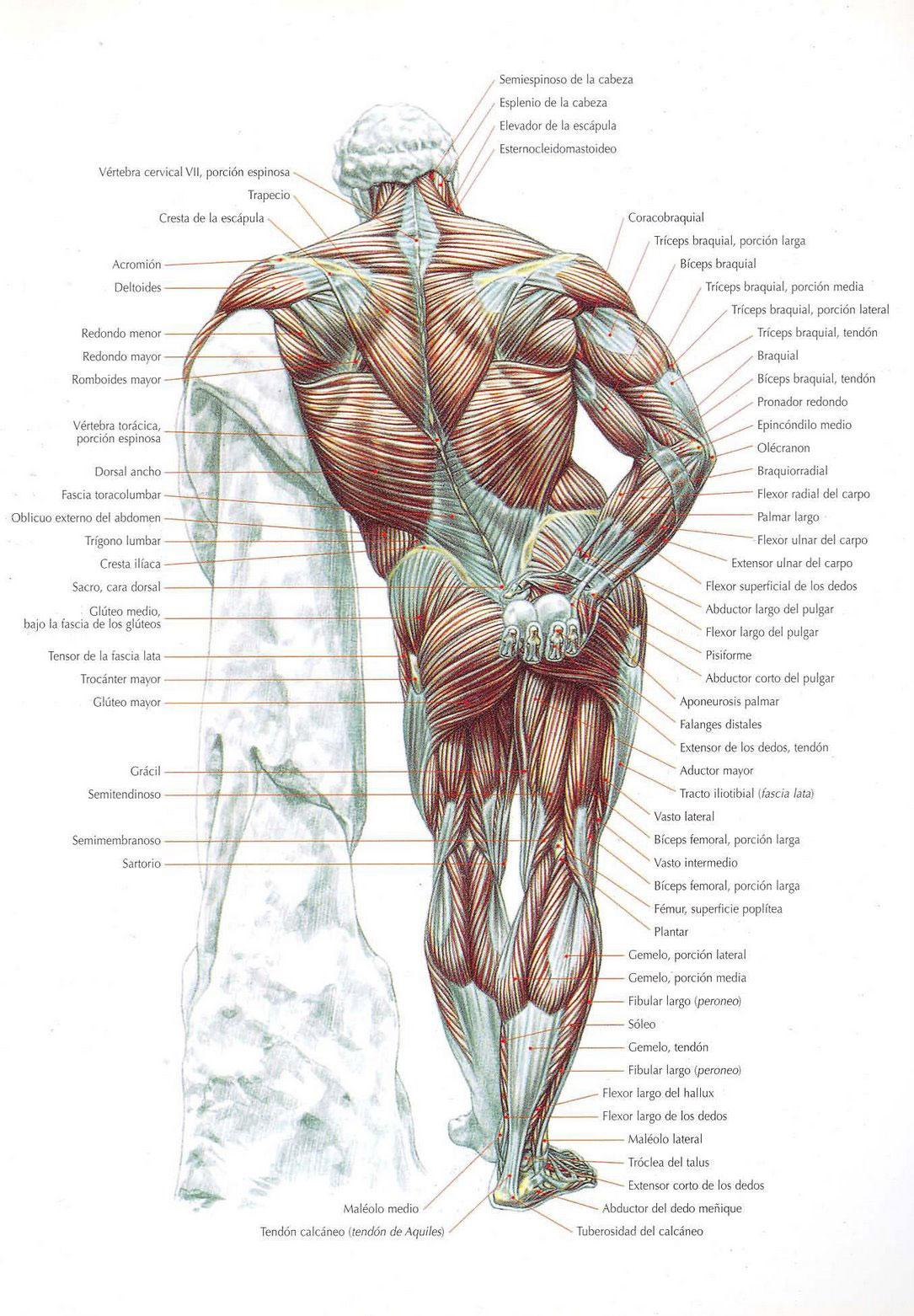 Músculos del Cuerpo Humano - Grupos, Tipos y Funciones.