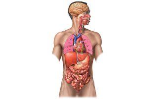 Órganos Cuerpo Humano