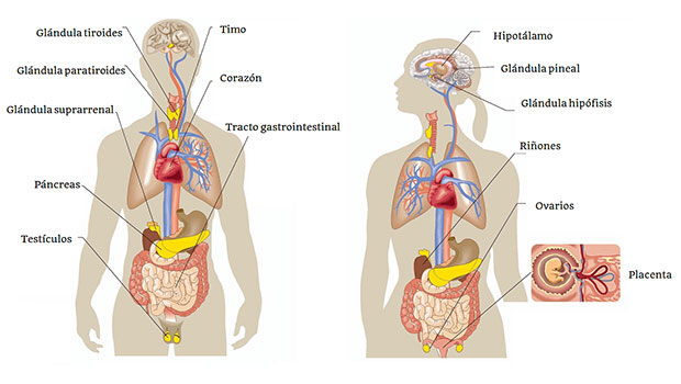Sistema Endocrino - Definición, partes y enfermedades.