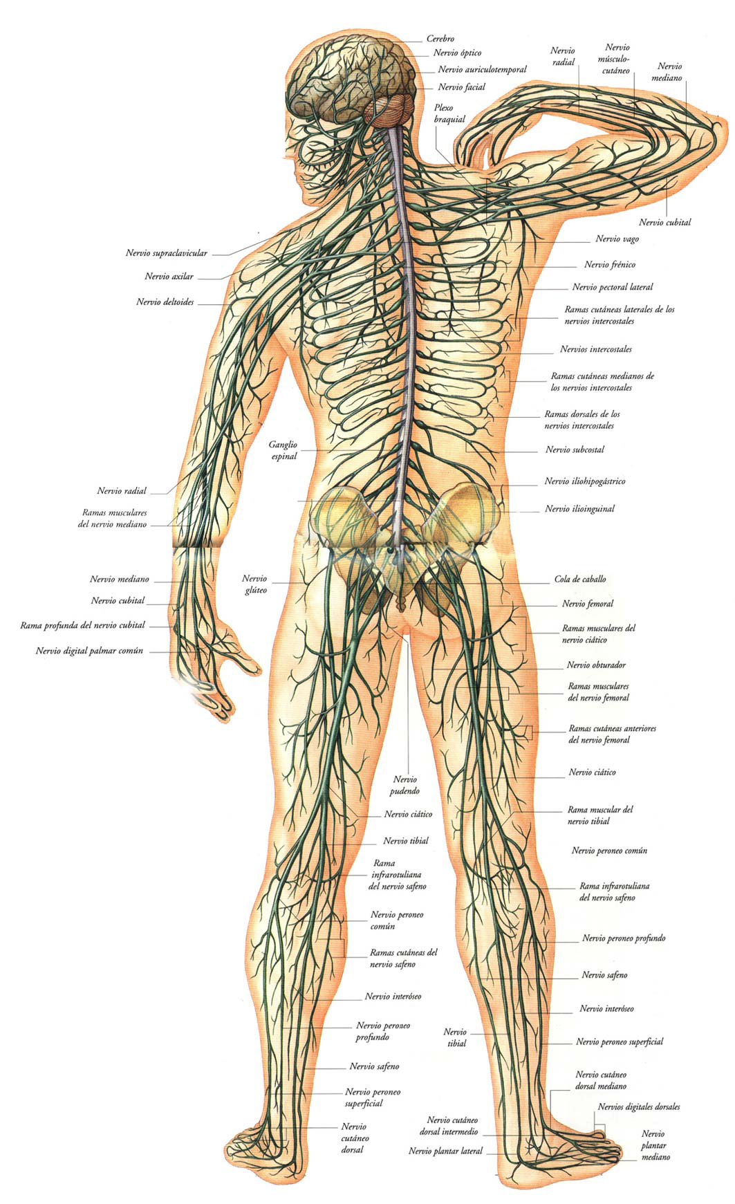 Sistema Nervioso - Funciones, partes y enfermedades.