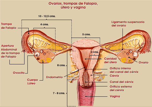 Sistema reproductivo sexual femenino humano
