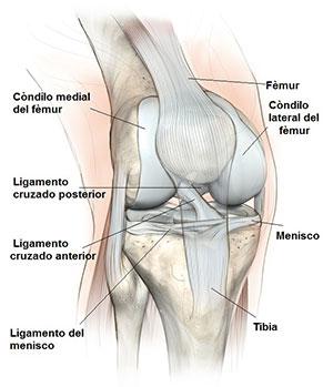 articulacion-rodilla