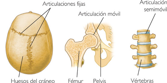 tipos-articulaciones