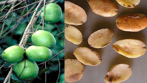 Irvingia Gabonensis