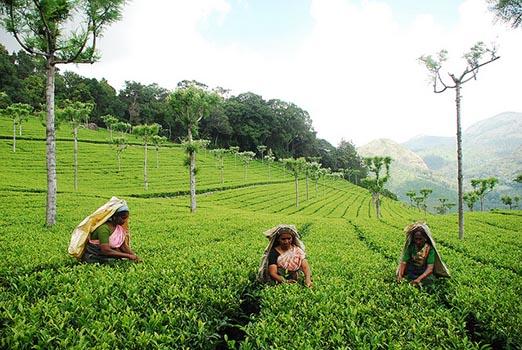 Cultivo de té verde